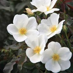 Rose, White Out.Abundant, creamy white flowers sit atop dark green to almost black foliage creating a beautiful contrast in the garden. Garden Shrubs, Flowering Shrubs, Garden Plants, Garden Soil, Sun Garden, Gardening Vegetables, Green Garden, Outdoor Plants, Flowers Garden