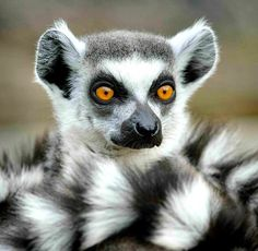 86 beste afbeeldingen van Ringstaartmaki s Lemur Lemurs