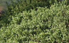 Pictures and description of Iva hayesiana, Hayes iva. Hillside Garden, Rain Garden, California Native Plants, Southern California, Garden Plants, Herbs, Landscape, Allergies, Nature