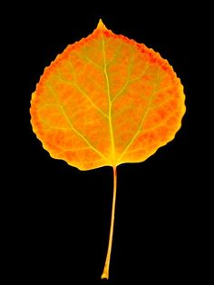 fall aspen leaves tattoo - Google Search