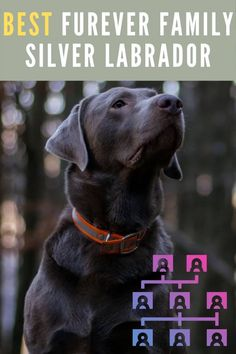 Silver lab puppies for sale in MO – 8 Best Pins in a video...... #puppiesforsale #puppiesforsaleph #PuppiesForSaleinTexas #puppiesforsalemnl #puppiesforsalephilippines Silver Lab Puppies, Silver Labrador, Silver Labs, Labrador Breeders, Labrador Puppies For Sale, Labrador Retriever, Dog Portraits, Blue Ridge, Dogs
