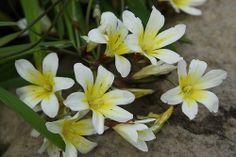 Sparaxis tricolor 'Alba Maxima' - Harlequin Flower