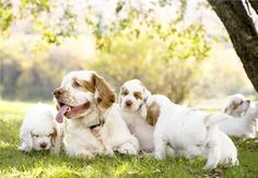 Annie Selke's Clumber Daisy and pups. Too cute for words...