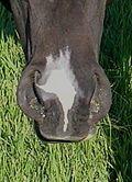 Horse markings - Wikipedia