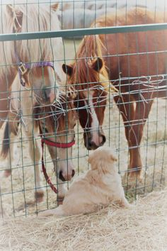 Prairie Willow Golden Mountain Dogs: Gallery Gotta love far life! Moyen Poodle, Farm Dogs, Retriever Puppy, Mountain Dogs, Puppies For Sale, Horses, Country Life, Gallery, Horse