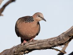 Spotted Turtle-Dove   by Enchylaena, via Flickr
