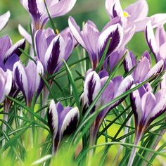Crocus- 'Spring Beauty Snow'.  Zone 3-9.  Blooms very early spring (Feb-Mar).  Low maintenance.