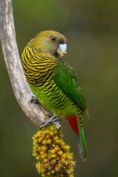 Brehm's Tiger Parrot (Psittacella brehmii) also known as Brehm's Ground Parrot: