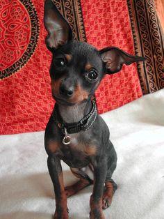 miniature pinscher...Look at that face!