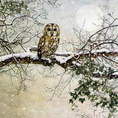 Tawny Owl - christmas card design by Jane Crowther for Bug Art greeting cards. Christmas Owls, Christmas Scenes, Vintage Christmas Cards, Christmas Landscape, Bug Art, Photo Images, Winter Scenery, Winter Art, Winter Green