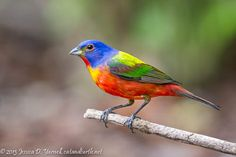 Painted Bunting.  A male just completing his molt into his adult plumage.  Look at his nose and you'll still see traces of his greenie days!