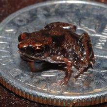 Paedophryne amauensis: The new smallest known vertebrate found on Papua New Guinea it is about .30 inches in length . . .its so CUTE!