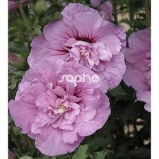 """Képtalálat a következőre: """"hibiscus syriacus"""""""