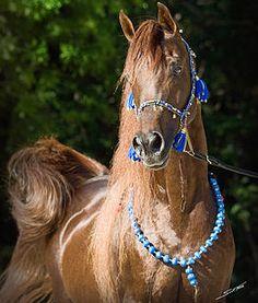 Kehilan Arabians breeders of Straight Egyptian Arabian Horses | Reference Stallions
