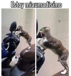 """101 Me gusta, 2 comentarios - Gatos Cool (@gatoscooloficial) en Instagram: """"Mira gatita, estoy miaumadisímo . . . #gatoscool😸 #gatos_cool #memesdegatoscool #gatos #gatitos…"""""""