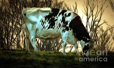 Black and White Dairy Cow grazing - At the End of the Day. Photographic Art by Janine Riley