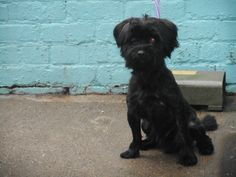 Black male Shis Tzu cross found in Woodhey Court, Bebington on the 7/3/16.If you recognise this beautiful boy and have any information with regards to him please contact us.