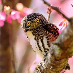 Pink for all by Mirror_Lake, via Flickr /  鵂鶹 Collared Owlet ... In this lovely Spring, everybody is to get a shot in pink, even an Owl...