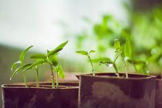 chilli seedlings