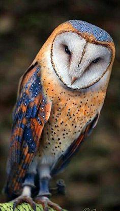 Coruja de celeiro, Coruja de celeiro comum ou Coruja-das-torres (Tyto alba)
