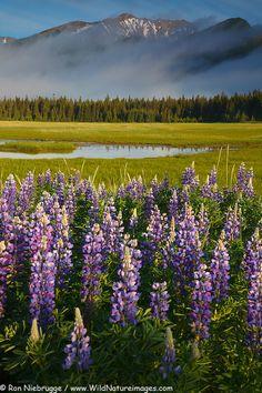 Lupine blooms in Lake Clark National Park, Alaska. - http://www.wildnatureimages.com/Alaska/Lake-Clark-National-Park/Lupine-Landscape-Photos.htm