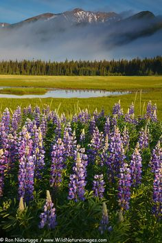 Lupine blooms in Lake Clark National Park, Alaska. - http://www.wildnatureimages.com/Alaska/Lake-Clark-National-Park/Lupine-Landscape-Photos.htm
