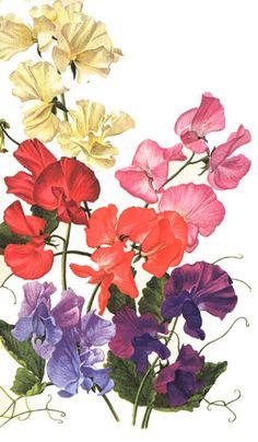 #tattooinspiration #sweetpea #floral