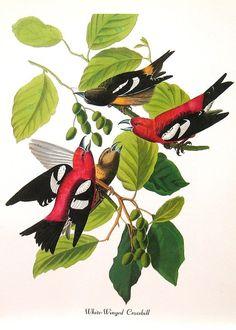 Audubon Birds of America Vintage 1979 Art by NaturalistCollection