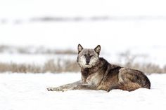 Yellowstone Gray Wolf Wildlife Photography Fine by RobsWildlife