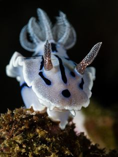 Frozen by christian_gloor Willan's Chromodoris / Chromodoris willani