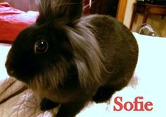 Meet+Sofie,+a+Petfinder+adoptable+Lionhead+Rabbit+|+Dayton,+OH+|+Sofie+has+been+searching+all+her+life+for+her+forever+home.+She+was+raised+in+terrifying...