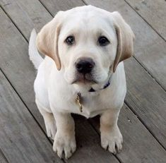 I miss my dog. Cute Baby Dogs, Cute Cats And Dogs, I Love Dogs, Cute Puppies, Dogs And Puppies, White Lab Puppies, Doggies, Golden Retriever Cartoon, Animals Beautiful
