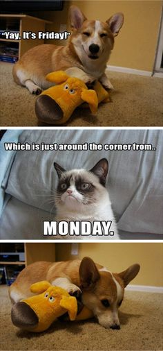 Aw Grumpy Cat why you gotta be so mean to happy corgi? - Grumpy Cat - Ideas of Grumpy Cat - Aw Grumpy Cat why you gotta be so mean to happy corgi? The post Aw Grumpy Cat why you gotta be so mean to happy corgi? appeared first on Cat Gig. Grumpy Cat Quotes, Funny Grumpy Cat Memes, Funny Animal Memes, Funny Animal Pictures, Funny Cats, Funny Animals, Cute Animals, Funny Memes, Cats Humor