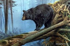 """A fallen tree has turned itself into a bridge for this big black bear to cross in Jerry Gadamus' Shadow of the North. Image Size 25"""" x 15.5"""" Signed and Numbered"""