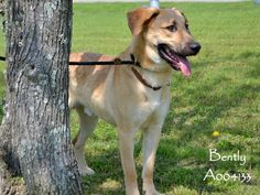 UPDATE: BENTLY WAS TRANSPORTED TO GOLDEN, CO., WHERE HE FOUND HIS FOREVER HOME! If you happen to be searching for a dog who is big, and bright, and beautiful, search no more! Here's Bently, and he's all those things and more! The shelter is closed Mondays. Come visit 10-5, Tues.-Sun. 407 Sgt Ed Holcomb Blvd S, Conroe, TX 77304 (936) 522-3550  Pinned 4-6-15.