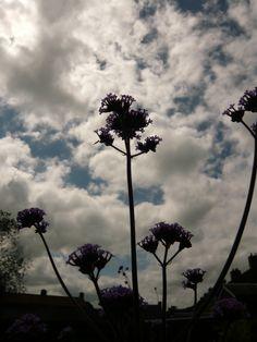 IJzerhard (Verbena Bonariensis). Check voor meer foto's Ivyandlily.nl