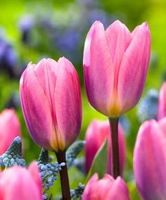 Image result for Tulipa Light and Dreamy van engelen