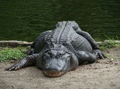 American Alligators are found in the United States as well as China. particularly South Louisiana, Mississippi, Alabama, Florida, And Georgia. See You Later Alligator, Adult Comedy, Hissy Fit, Laughter The Best Medicine, Reptiles And Amphibians, Getting Drunk, Mans Best Friend, Animals Beautiful, Animal Pictures