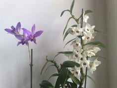 Laelia anceps y Dendrobium nobile