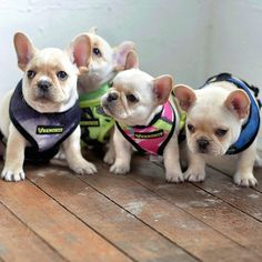 I want them all!! French Bulldog Puppies.