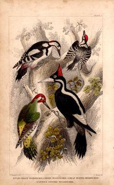Rare Antique Woodpecker Bird Species by TheLotAntiquesandArt