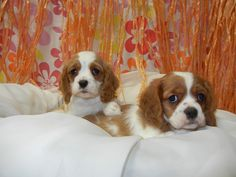 Cavalier King Charles Spaniel  Fairwood Pet Center, from our home to yours, puppies & so much more!   425-271-9344  www.fairwoodpetcenter.com  Follow us on Facebook & Twitter, @FairwoodPets