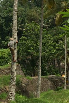 A 67 years old can climb 25m coconut tree in 25 seconds