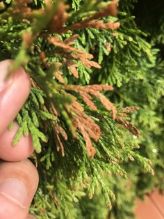 Barnul, sárgul, szárad a tujád? Garden Stones, Bonsai, Gardening Tips, Herbs, Gardens, Plant, Tips, Stones For Garden, Herb