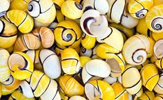 Yellow snails shells....they prefer forests in tropical regions