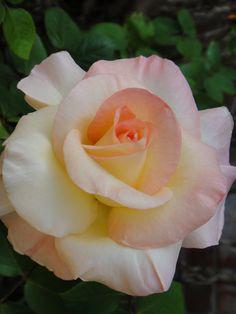 'Princess Diana'   Hybrid Tea Rose. Werner Noack (Germany, 1981)   Flickr - © Cynthia Crawley