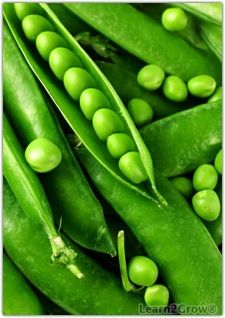 Pointers on growing peas in the garden