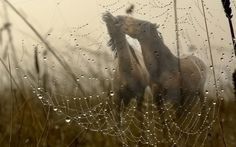 ♥ - water drops, couple, spider web, morning, dew, spring, horses, autumn