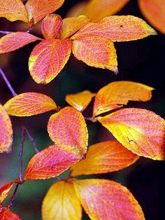 stewartia in autumn