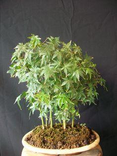 Bosque De Acer Palmatum Acer Buergerianum Y Acer Palmatum Kiyohime